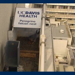 Peregrine Falcons at UC Davis Medical Center