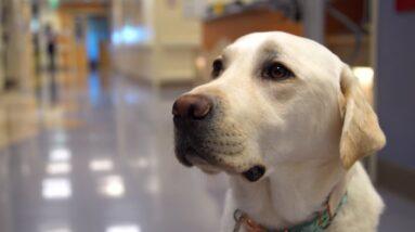 Meet Daniels, the New Facility Dog at UC Davis Children's Hospital
